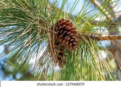 South Florida slash pine (Pinus elliottii densa) cones closeup - Pine Island Ridge Natural Area, Davie, Florida, USA