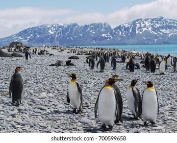 South Georgia Island. Many king penguins and fur seals on rocky beach during November breeding and mating season. Penguins close to camera.
