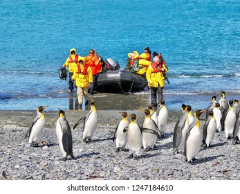 South Georgia Island - November 29, 2010. A group of king penguins (aptenodytes patagonicus) on a South Atlantic beach appear relaxed and unafraid as tourists arrive in an inflatable boat.