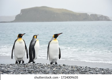 South Georgia and the South Sandwich Islands - 2018: King penguins on South Georgia island, playing in the water and on land