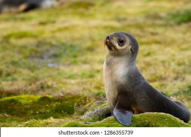 South Georgia. Stromness. Antarctic fur seal (Arctocephalus gazella) pup.