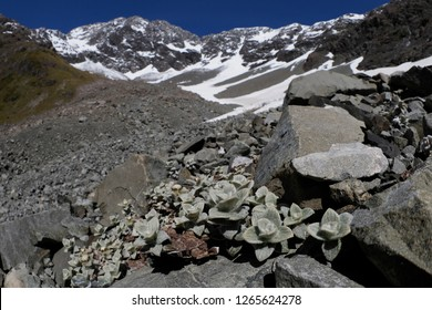 South Island Edelweiss in the Upper Otira Valley with Mt Rolleston behind