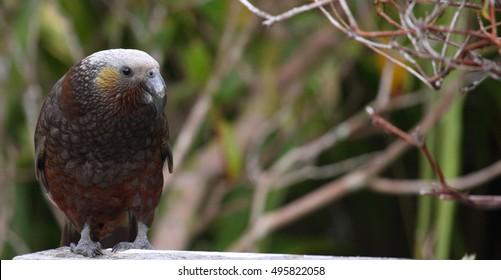 A South Island Kaka bird in a garden in New Zealand.