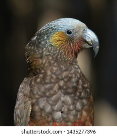 South Island Kaka in New Zealand