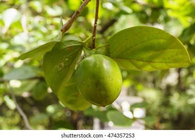 South Korea persimmon tree-lined