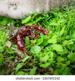 South Louisiana Crawfish walking on the ground. Crayfish on the ground by a propane tank in Delcambre, Louisiana. Summertime and crawfish. Mudbugs for supper.