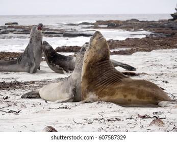 South males fighting Elephant Seal, Mirounga leonina, Cracas Island, Falkland Islands - Malvinas