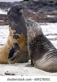 South males fighting Elephant Seal, Mirounga leonina, Sea lion Island, Falkland - Malvinas