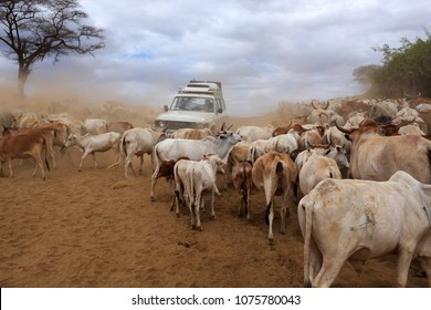 SOUTH OMO - ETHIOPIA - August 3, 2014: A herd of cattle and a 4x4 on the riverbank of the Omo River on August 3, 2014 in South Omo, Ethiopia.