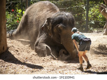 SOUTH PERTH, AUSTRALIA, NOVEMBER 11, 2013: A keeper plays with an Asian elephant during a show for visitors at Perth Zoo in 2013. The elephant, which is 23 years old, is one of three at the Perth Zoo.