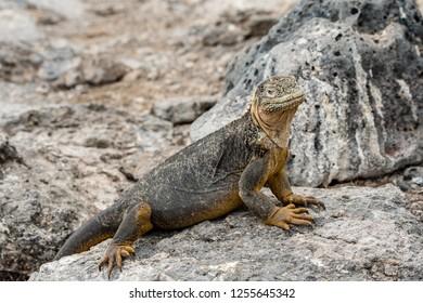 SOUTH PLAZA ISLAND, GALAPAGOS - OCT 22, 2018: a large land iguana walks among the stones of South Plaza Island, October 22, 2018.