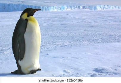 South pole Emperor penguins