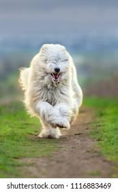 South russian sheepdog run free
