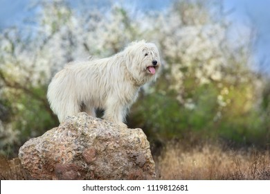 South russian sheepdog in spring blossom