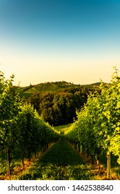 South Styria Vineyards landscape in Sulz Austria. View at Vineyard fields in sunset sun in summer. Tourist destination. Vertical photo