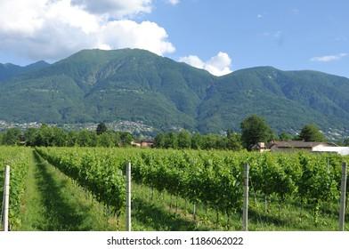 South Switzerland: Wine yards in the Maggia River Delta near Ascona and Locarno City