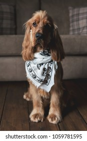 SOUTH YORKSHIRE, UK: APRIL 2, 2018: A Golden Cocker Spaniel puppy dog wearing a skull print Alexander McQueen designer scarf sitting on a dark wooden floor