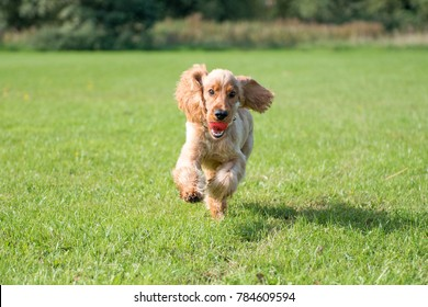 SOUTH YORKSHIRE, UK - SEPTEMBER 3, 2017: A Golden Cocker Spaniel dog running on a field with his red ball in his mouth.