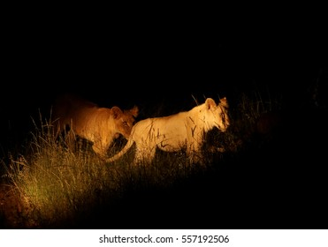 Southeast African lion, Panthera leo krugeri, two adolescent lions in night, lit by spot light during night drive. Timbavati reserve, Kruger area, South Africa.
