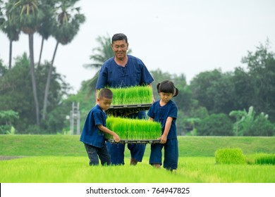 Southeast Asia farmer life. Father teaching Daughter and Son planting seedlings rice plant. Asia relationship family. Modern Farming. the spirit of asia