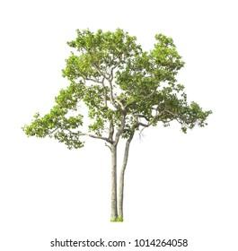 Southeast Asia Tree isolate on white background