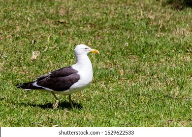 Souther black backed gull wanders around the grass looking for fries. Western Springs Pond, Auckland, New Zealand