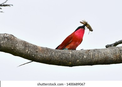 souther carmine bee-eater bird eating insect