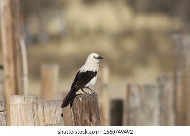 Souther pied babbler on a fence top
