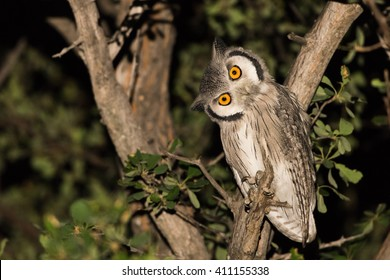 Souther white faced scops owl (Ptilopsis granti) at night, Botswana