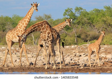Southern African Giraffe visit a watering hole in a National Park, Namibia, southwestern Africa.  With a young calf by her side, this cow is protective and loving.  The calf only drinks milk.