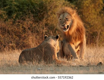 Southern African lion, Panthera leo melanochaita. Pair of lions in mating period. Roaring lion approaching lioness to mate in early morning light. Low angle view, Chobe national park, Botswana.
