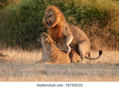 Southern African lion, Panthera leo melanochaita. Pair of lions in mating period. Roaring lion and lioness mating in early morning light. Low angle view. Chobe national park, Botswana.