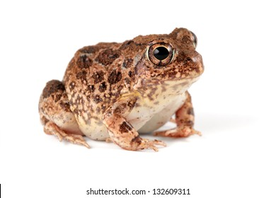 A southern African sand frog (Tomopterna cryptotis) on white