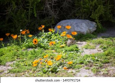 Southern African vlei rat, Otomys irroratus, grazing between the African wild flowers, orange Glandular Cape marigold or Namaqualand daisy