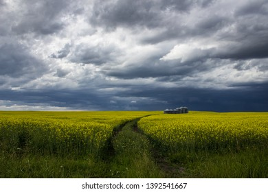 Southern Alberta Canola field in July thunderstorm