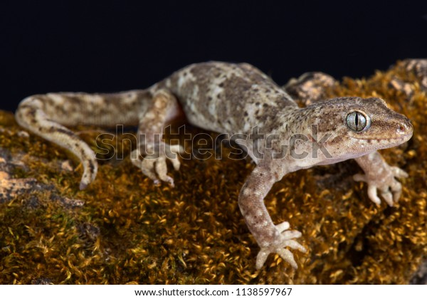 The Southern Alps gecko (Woodworthia 'Southern Alps')  is able to survive even in very high mountains (has a range up to at least 1800m asl) endemic to New Zealand.