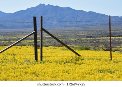 Southern Arizona desert full of yellow wildflowers in the spring