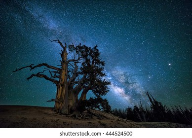 The Southern arm of the Milkyway galaxy rising up over ancient Bristlecone Pine tree in Utah's high country