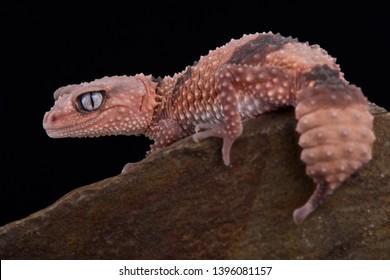 Southern banded knob-tailed gecko (Nephrururs wheeleri wheeleri)