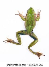 Southern Bell or Growling Grass Frog (Litoria raniformis)