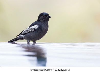 Southern Black Tit sitting on the edge of a water pool to drink