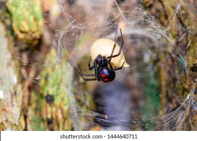 Southern  Black Widow (Latrodectus mactans) or shoe-button spider, guarding her egg sack