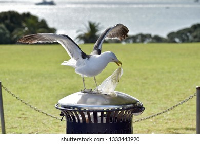 Southern black-backed seagull pulls plastic bag out of trash bin in a park