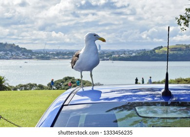 Southern black-backed seagull sitting on blue car roof suspiciously looking at antenna