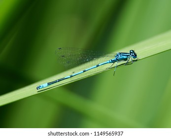 A Southern Blue Damselfly surrounded by green foliage