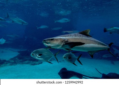 southern bluefin tuna swimming with the fishes