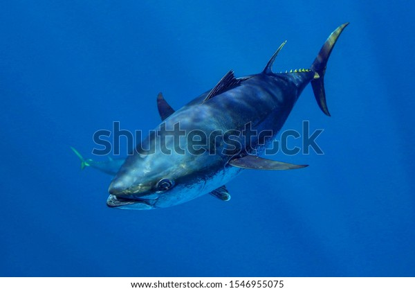 southern bluefin tuna swimming in the open ocean