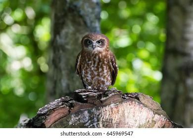 Southern Boobook Owl ((Ninox boobook) of Australisia
