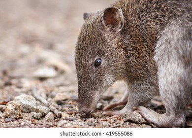 Southern Brown Bandicoot closeup of head at ground level while feeding on ground