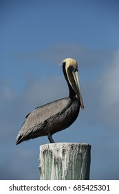 Southern Brown Pelican